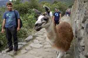 llama at Machu Picchu 1