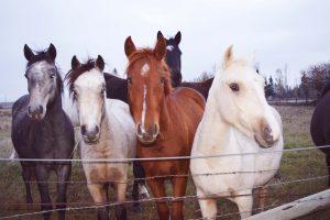 connemara-ponies-1