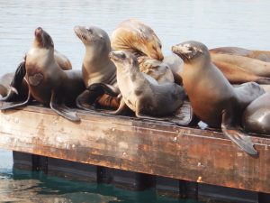sea-lions-horizontal-1